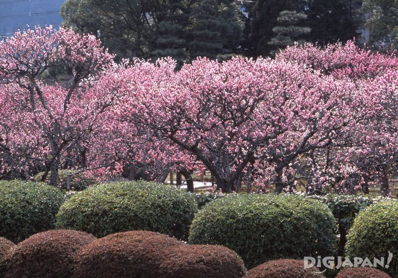 Plum blossoms at Zuishin-in Temple_1