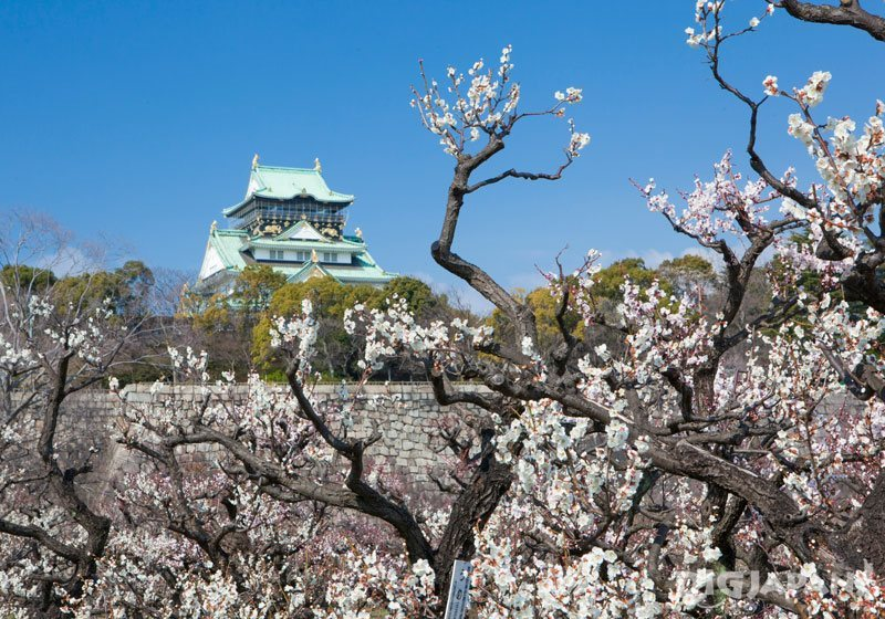 Plum blossoms at Osaka Castle_2