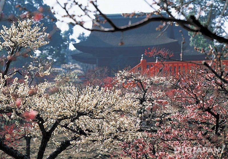 Plum blossoms at Domyoji Tenmangu Shrine
