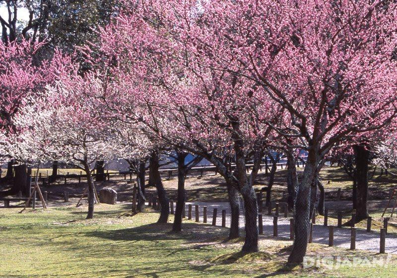 Plum blossoms at Nara Park