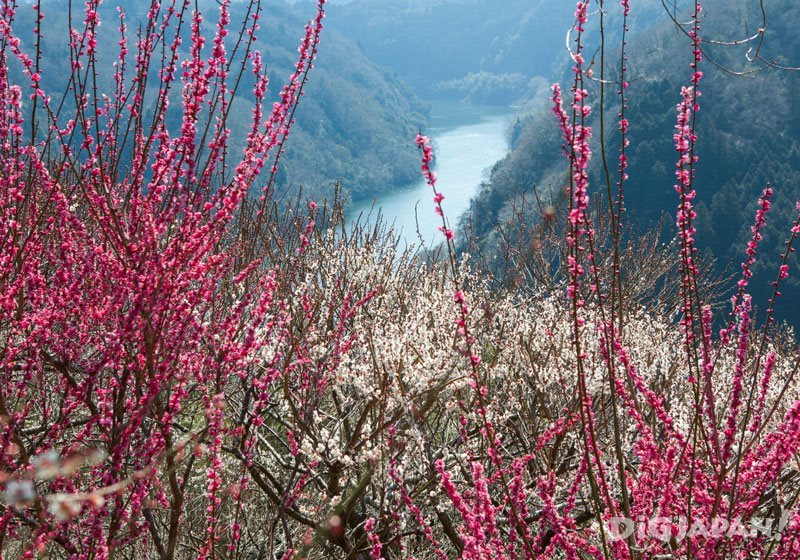 Plum blossoms at Tsukigase Baikei_1