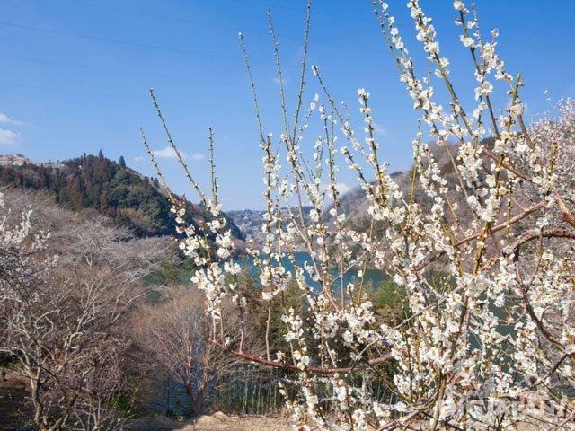Plum blossoms at Tsukigase Baikei_3