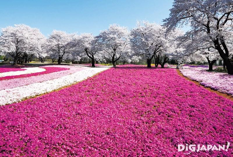 東武寶藏花園芝櫻