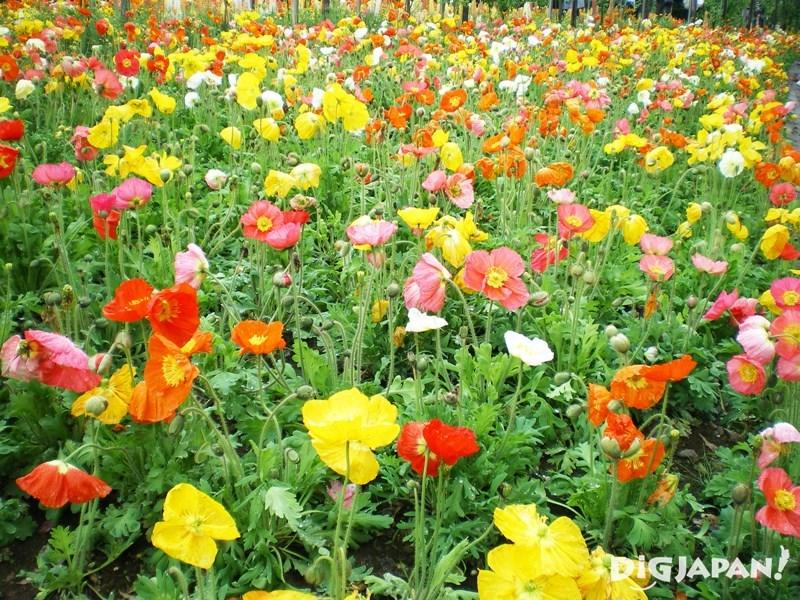 東武寶藏花園罌粟花