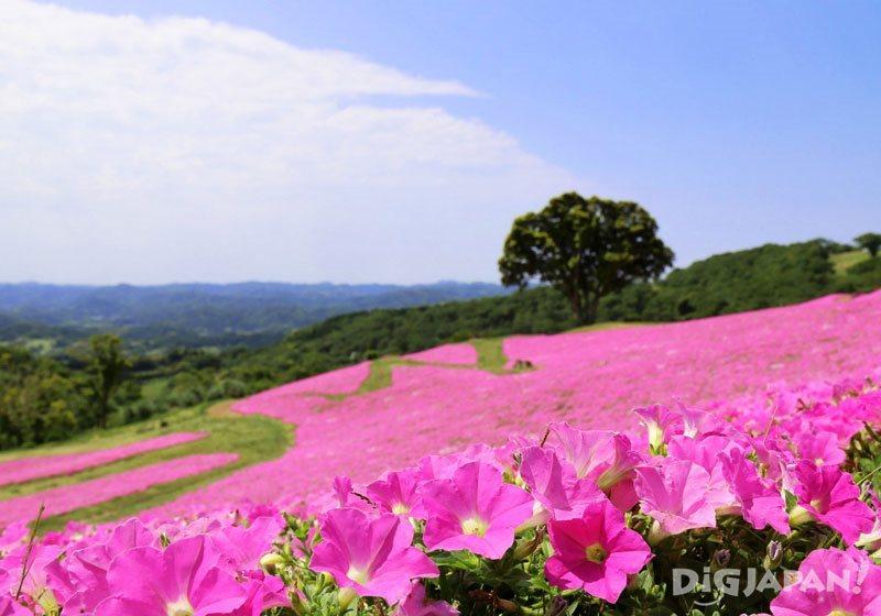 마더 목장_분홍색 향연