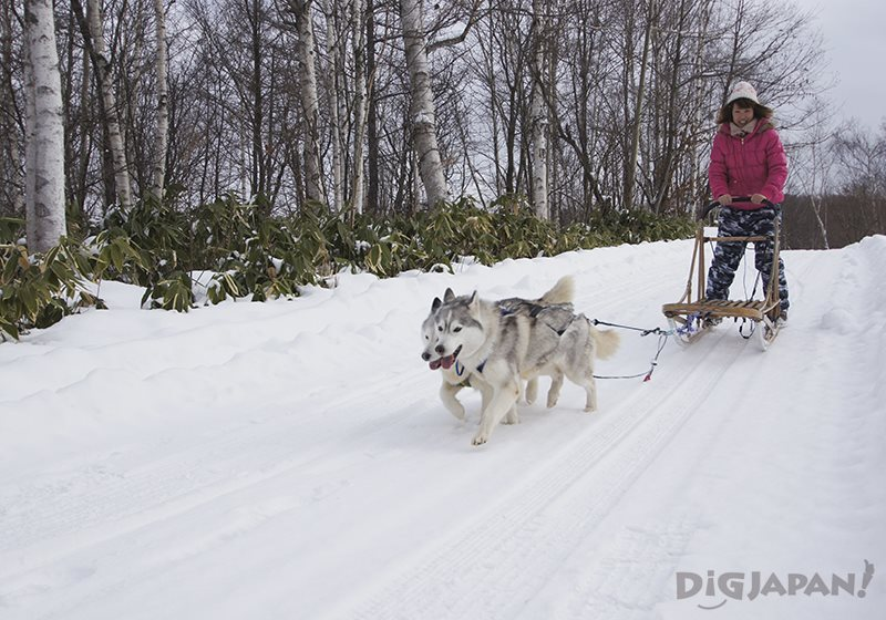 Dog sledding North Safari Sapporo