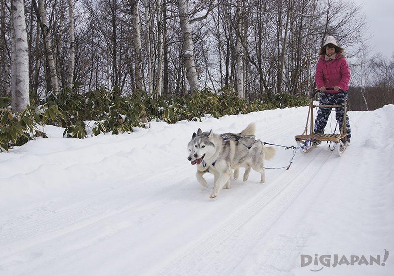 札幌北部野生動物園狗拉雪橇