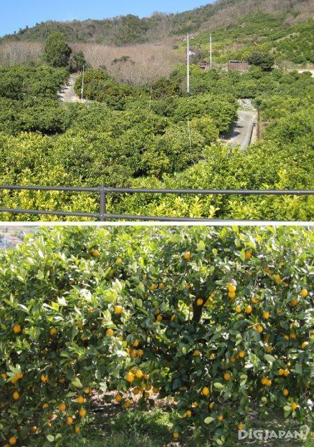 Ikuchi-jima Lemon Valley