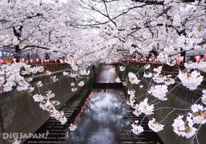 目黑川的櫻花1