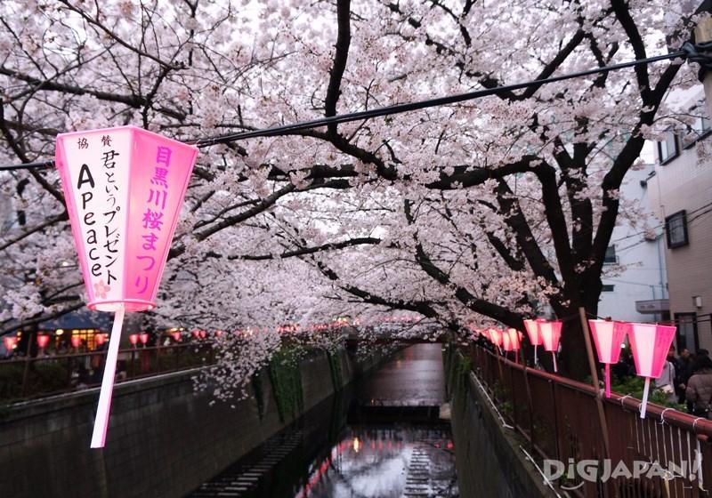 目黑川的樱花2
