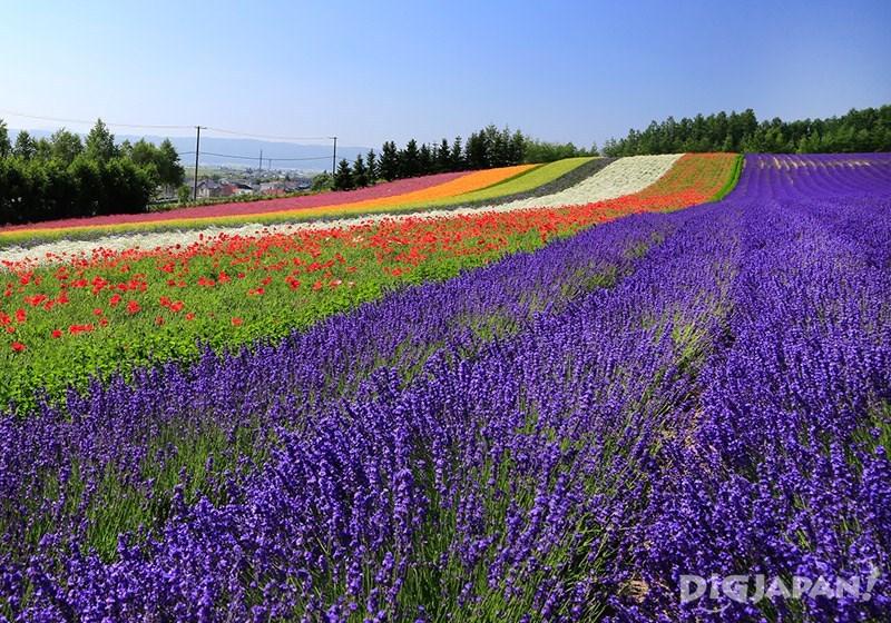 色鮮やかなラベンダー畑1