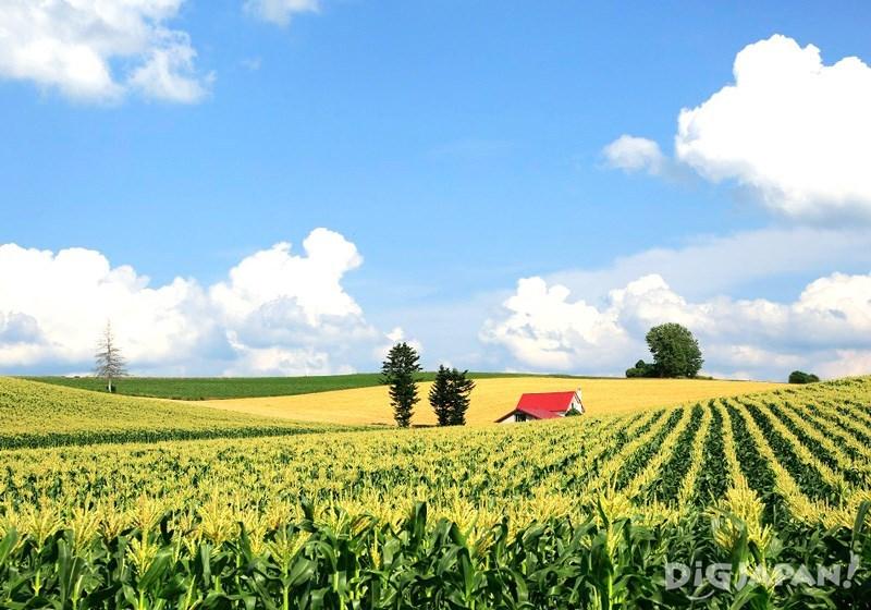 美瑛で人気の景色、赤い屋根の家