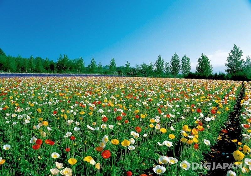 色彩鲜艳的花田