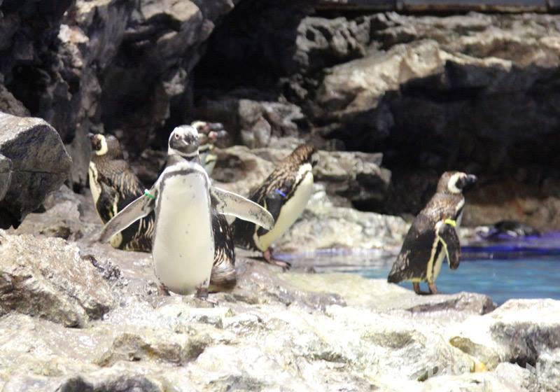 Sumida水族館企鵝1