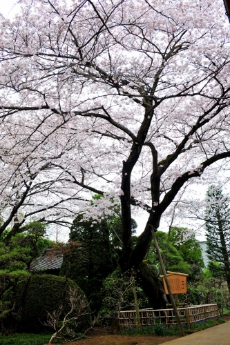 ภายในสวนมีต้นซากุระกว่า 2,000 ต้นกำลังบานสะพรั่งอยู่