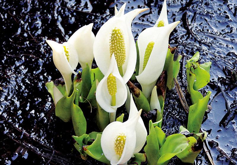 尾瀬的植物