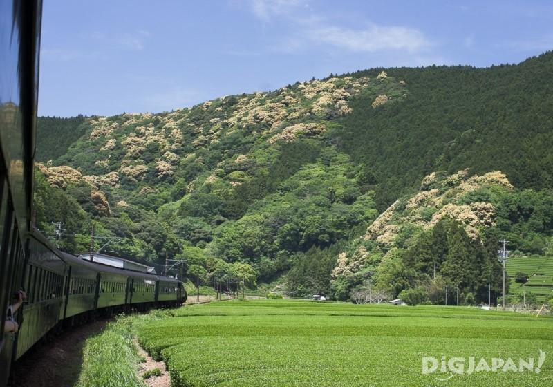 大井川鐵道沿線 線路脇に茶畑が広がる風景