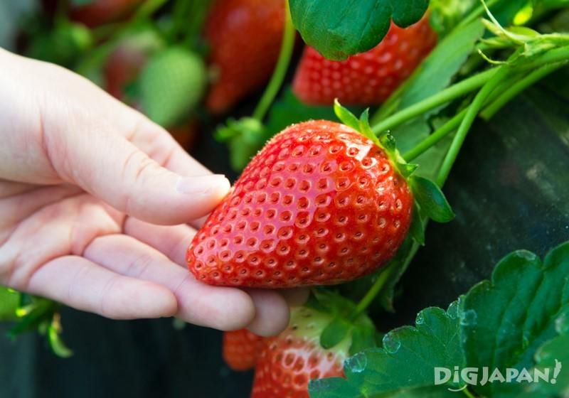 天空莓是今年開發出來的新品種