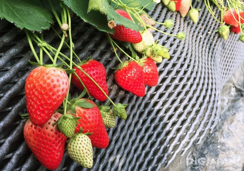 草莓尖头部分最甜