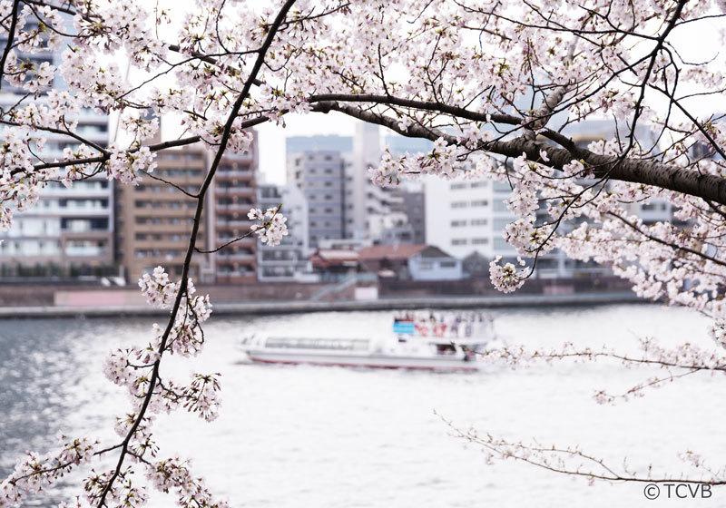 隅田川和櫻花1