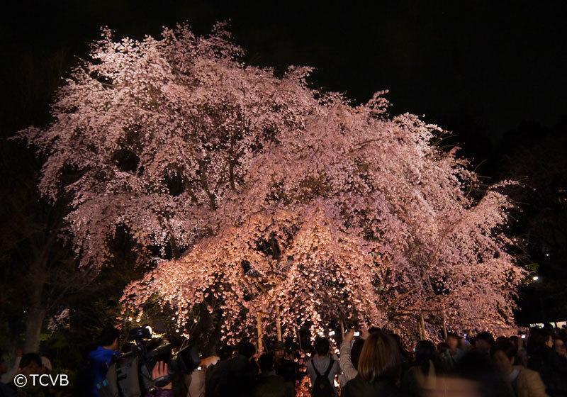 六义园的垂樱夜景