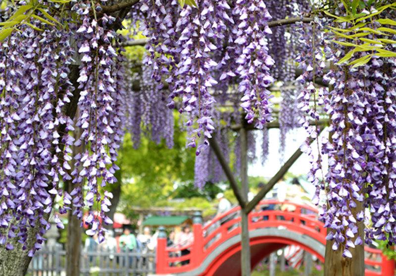 ดอกฟูจิจะเริ่มบานสะพรั่งกว่า 100 ต้น