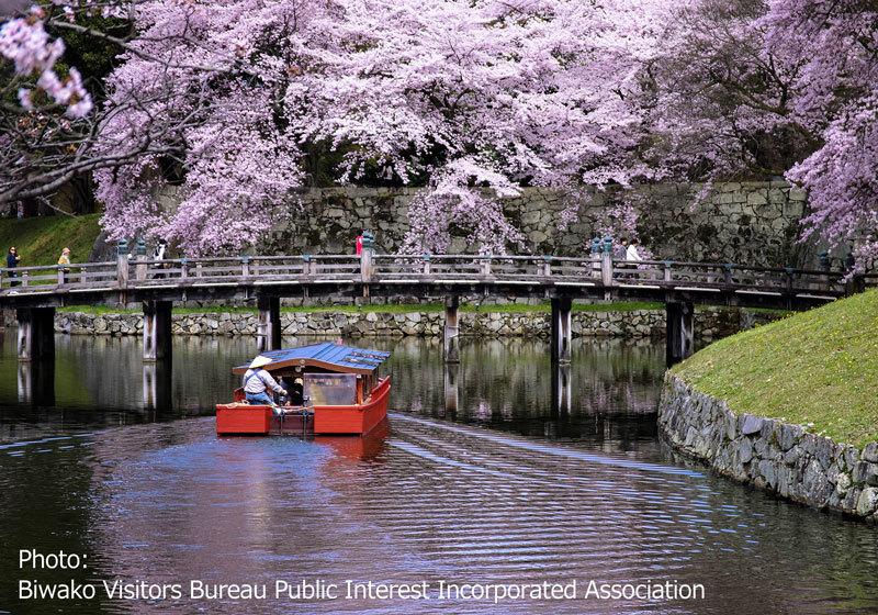 櫻花樹下行進的小舟(彦根城)