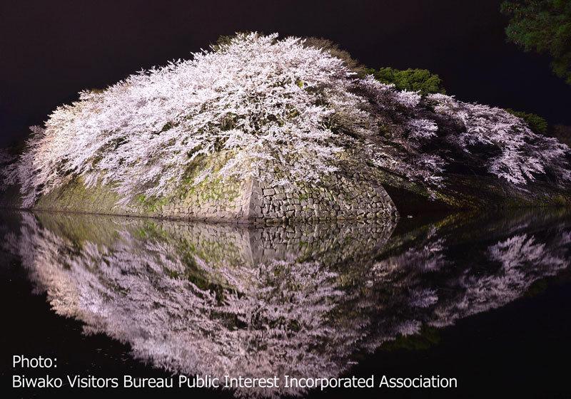 彦根城(滋賀)的櫻花
