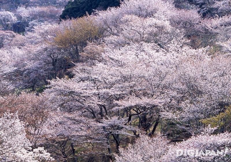 吉野山(奈良)的櫻花