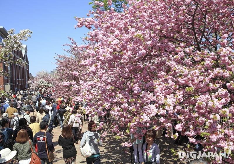 造幣局櫻花大道(大阪)的櫻花