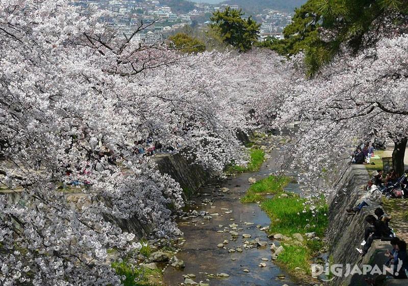 夙川河川敷綠地(兵庫)的櫻花