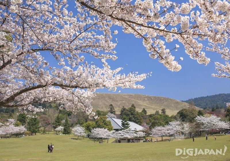 奈良公園(奈良)的櫻花