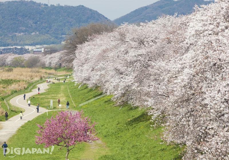 淀川河川公園背割堤地区(京都)的桜