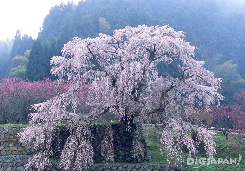 又兵衛桜(本郷の瀧桜)(奈良)的桜