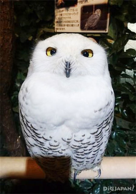 名為HEDWIG的貓頭鷹