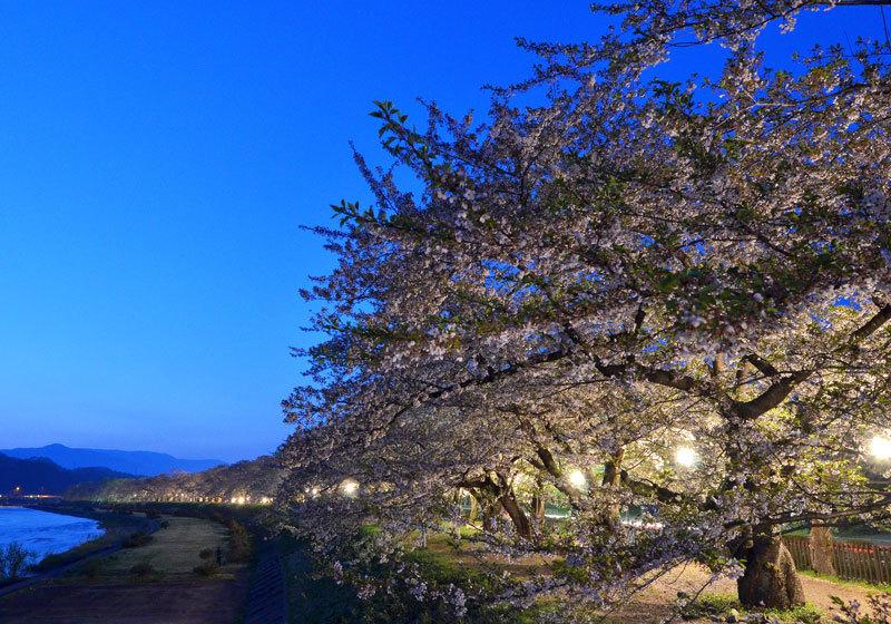 桧木内川(ひのきないがわ)沿い夜桜