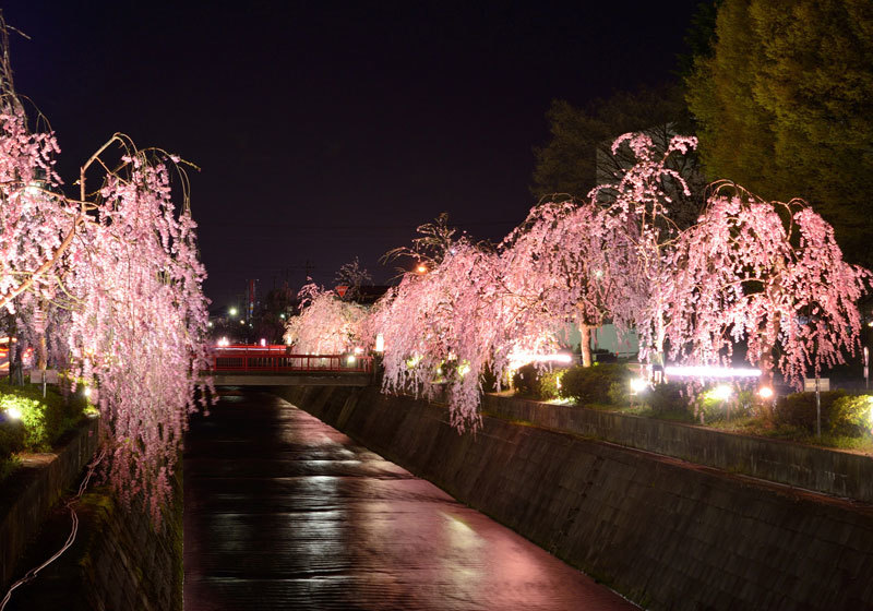 山形县天童樱花祭4