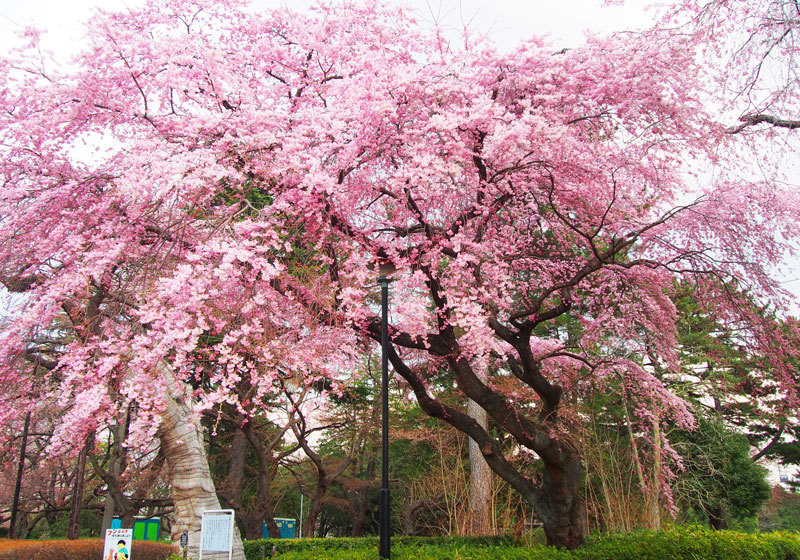 榴岡公園の桜1