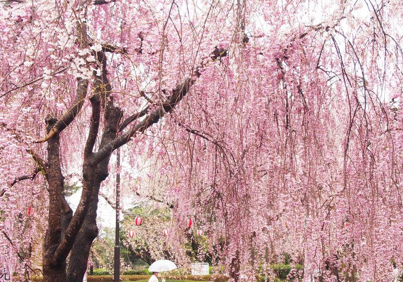 榴岡公園の桜2
