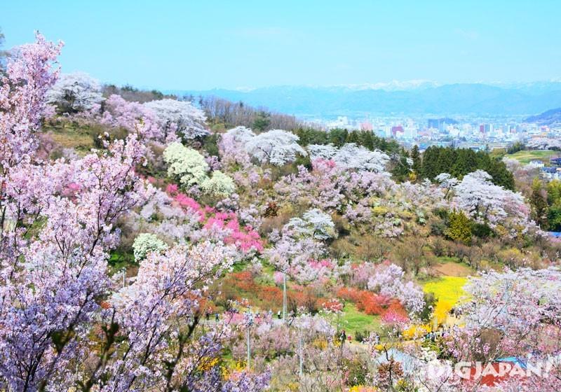 福岛县花见山公园1