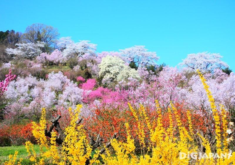 福岛县花见山公园2