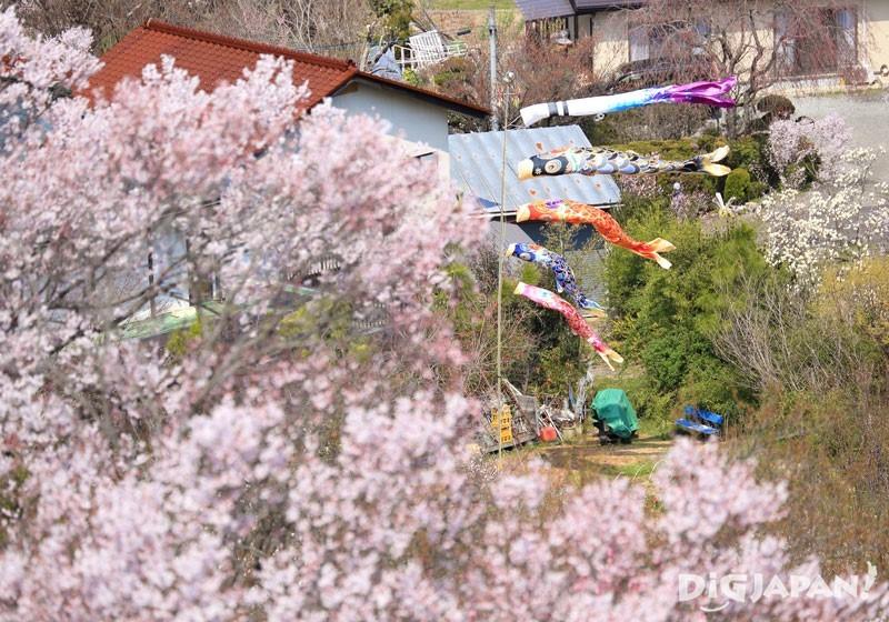 福岛县花见山公园4