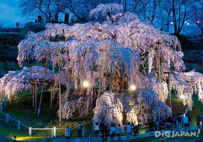 福岛县三春瀑布樱2