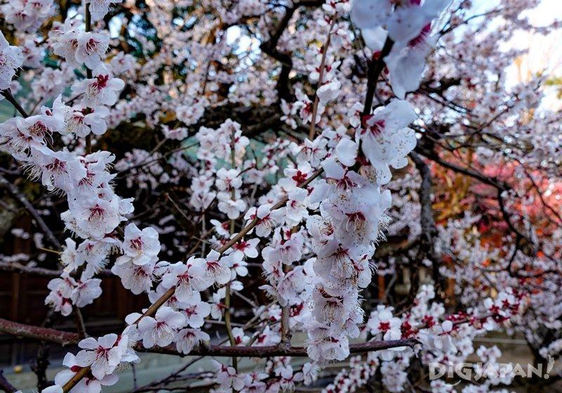 京都北野天滿宮的粉白梅花1
