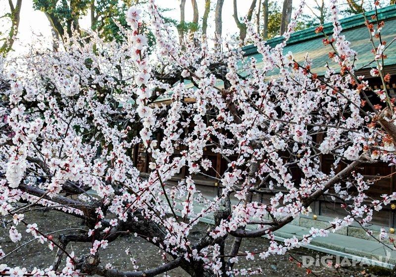 京都北野天滿宮的粉白梅花2