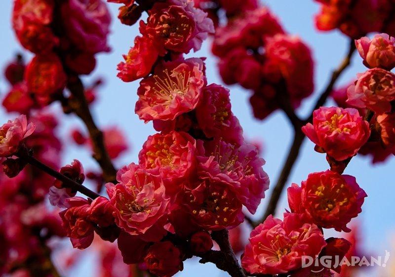 北野天滿宮的紅色梅花