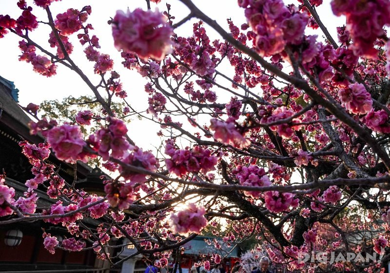 北野天滿宮的桃紅梅花