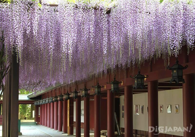 笠間稻荷神社的藤3