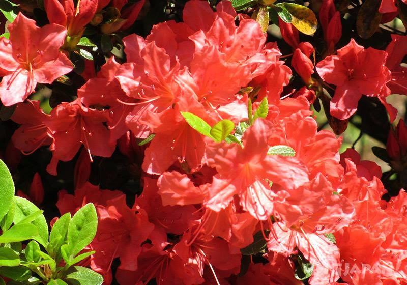 笠間杜鵑花祭3