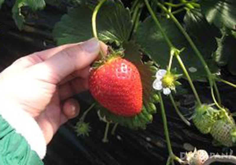 笠間體驗摘草莓2